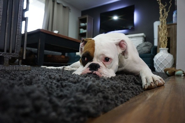 Importance Of A Pet Gate For Jumpers Dog