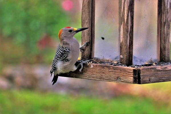 Why Woodpecker Peck On Your House or Shed