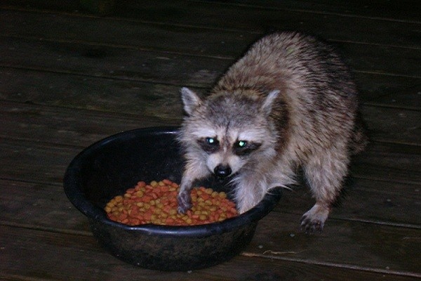 Favorite Baits for Raccoons