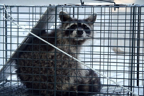 Raccoon Trapping Tips from Experts